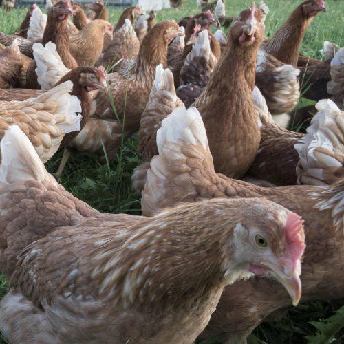 Kippen buiten